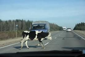 Жертвой ДТП стала корова