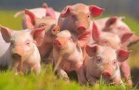 Китайские свиньи будут носить электронные бирки