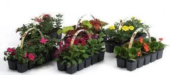 В «Тепличном» идет продажа цветочной рассады