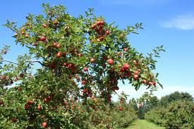 Небывалый урожай плодовых деревьев в Приамурье