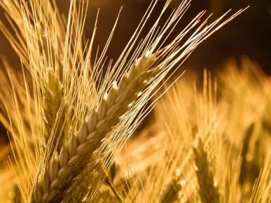 Аграрии не могут собрать урожай ячменя