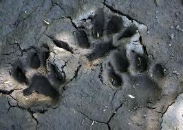 Охотники Зейского района нашли тигра