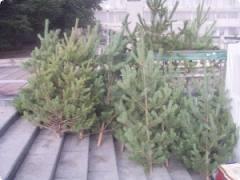 В Благовещенске уже начали продавать елки