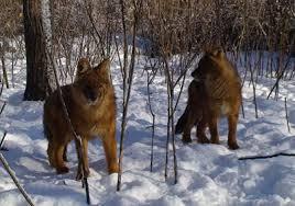 Очередное нашествие хищников в Приамурье
