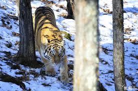 В Биробиджан привезли тигра из тайги