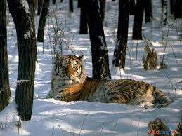 Тигр, найденный в тайге, скончался