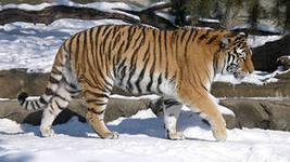 Департамент охотничьего надзора Приморского края установит инфракрасную камеру для наблюдения за тигром