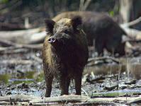 В Приамурье обнаружен вирус чумы у животных