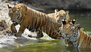 В Амурскую область привезут тигров