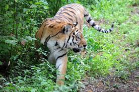 Амурские тигры выпущены на волю