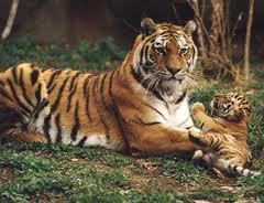 Минприроды намерено выделить средства на учёт амурского тигра
