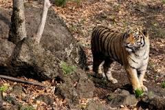 Тигр, выпущенный в Амурской области, ушёл в Еврейскую автономную область