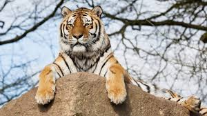 Тигрица Илона ушла в горы