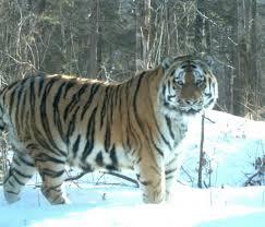 21 трансграничный заповедник для сохранения тигров