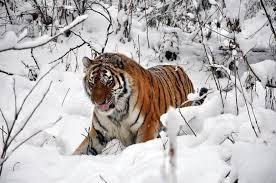 Амурский тигр Устин вернулся в реабилитационный центр в селе Алексеевка Приморского края