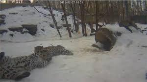 Тигрица Илона сломала фотокамеру в Хинганском заповеднике