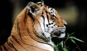 В Хинганском заповеднике установлены фотокамеры для слежения за тигрицей Илоной