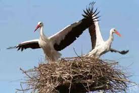 В Амурском заказнике упало дерево с гнездом аиста