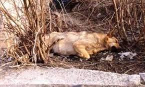 Управление ЖКХ Благовещенска требует доказательства травли собак