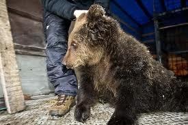 Медведь причинил травмы  12-летней благовещенке