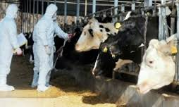 Не исключается версия преднамеренного заражения скота ящуром