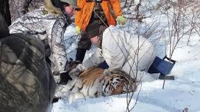 Спасённый амурский тигр получает необходимое лечение