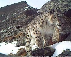 WWF реализует программу по изучению снежных барсов