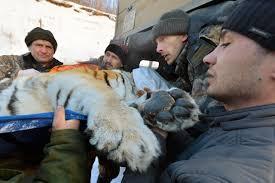 Причиной смерти тигра стал рак