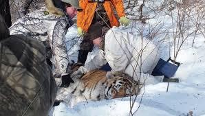 Спецрепортаж о тиграх