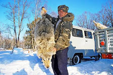 С начала года амурские охотники добыли более 150 волков