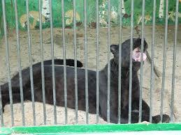 Зоопарк «Лигер» приехал в Амурскую область