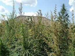 В Серышевском районе Амурской области администрация не скосила коноплю